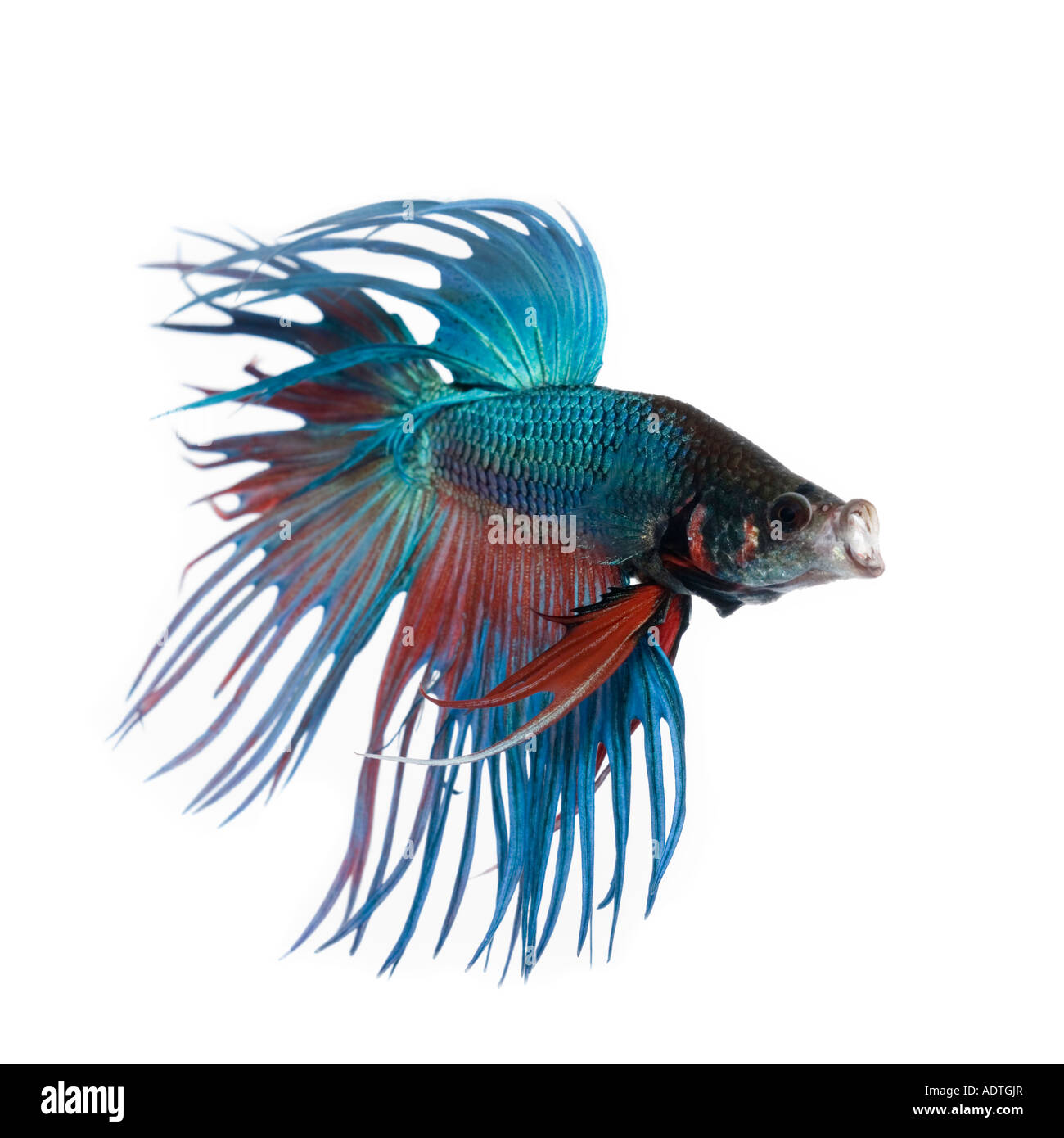 Turquoise and red crown betta fish displaying elaborate for Crown betta fish