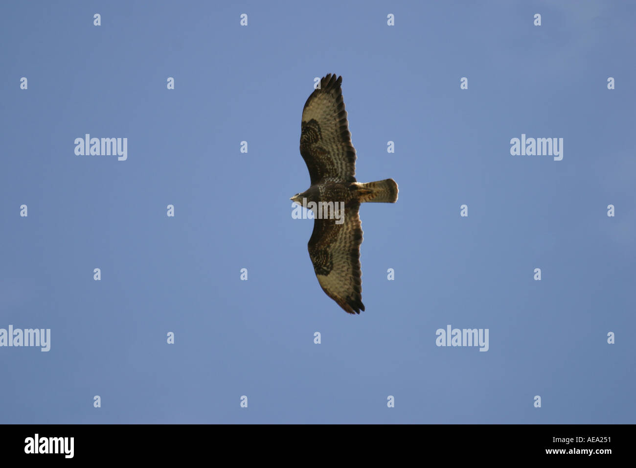 Common buzzard Buteo buteo flying on migration from northern Scandinavia to warmer countries through Denmark in Stock Photo
