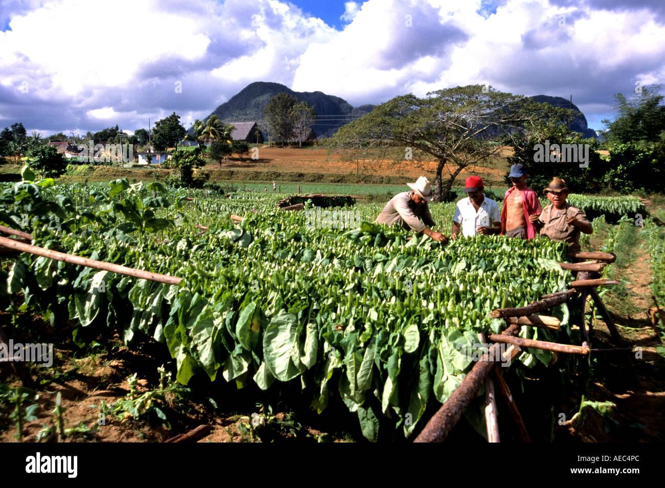 Pinar de Rio Cuba Cuban tobacco farming farm cigar cigars plantation Stock Photo ...