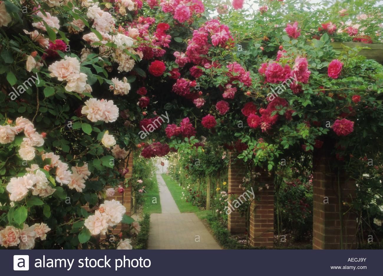 david austin roses shropshire climbing roses rosa. Black Bedroom Furniture Sets. Home Design Ideas