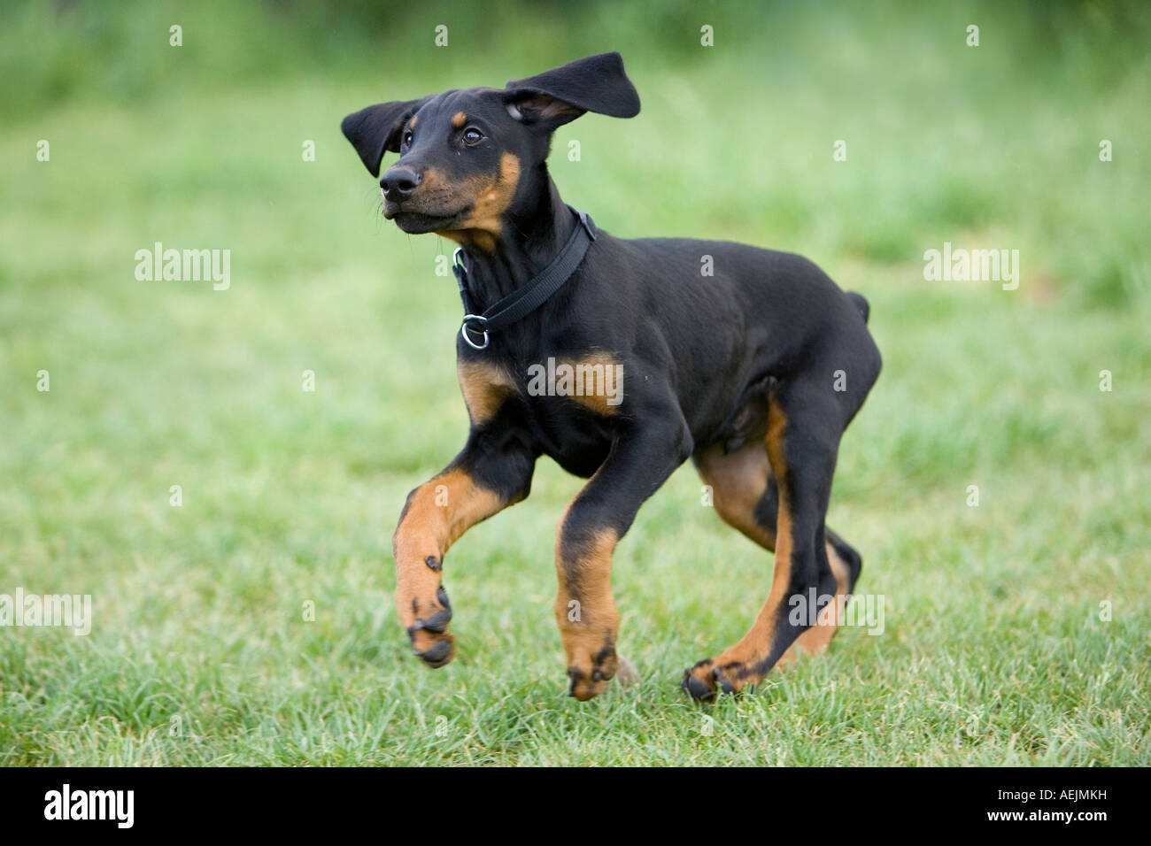 Doberman Pinscher Dogs For Sale In Texas