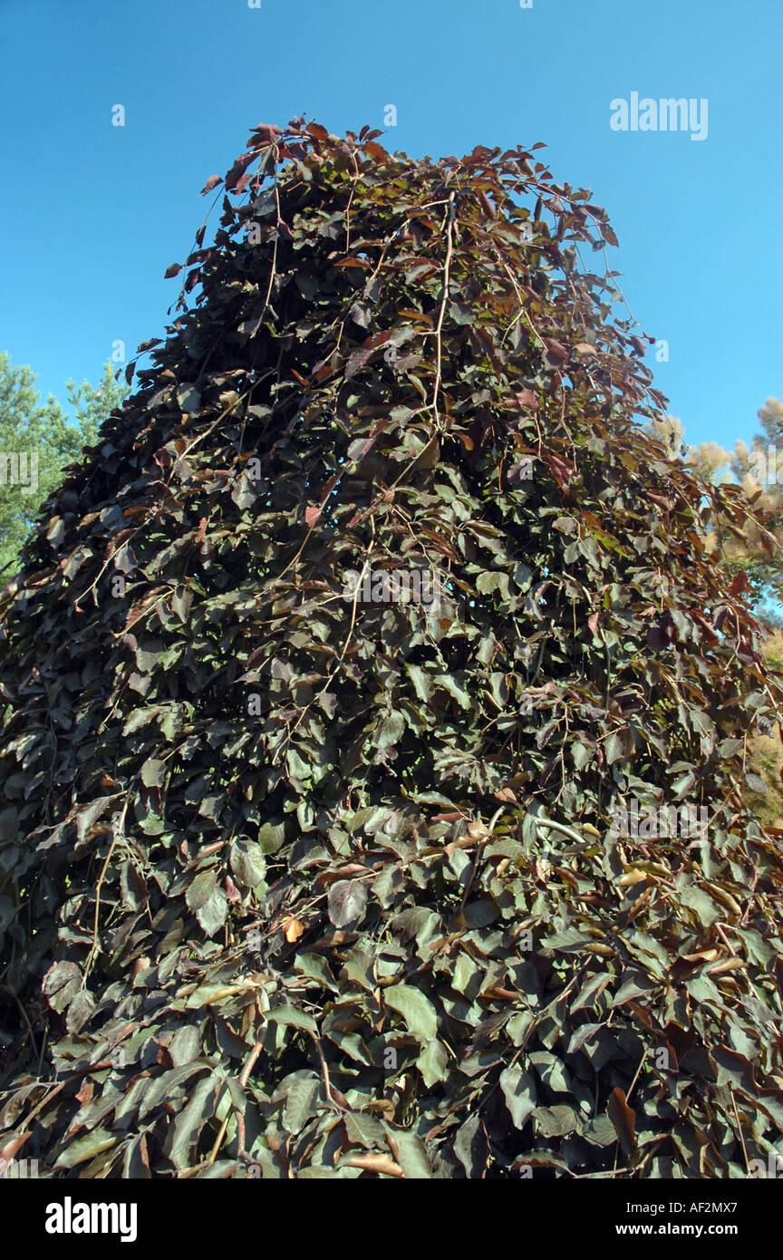 weeping purple european beech fagus sylvatica 39 purpurea. Black Bedroom Furniture Sets. Home Design Ideas