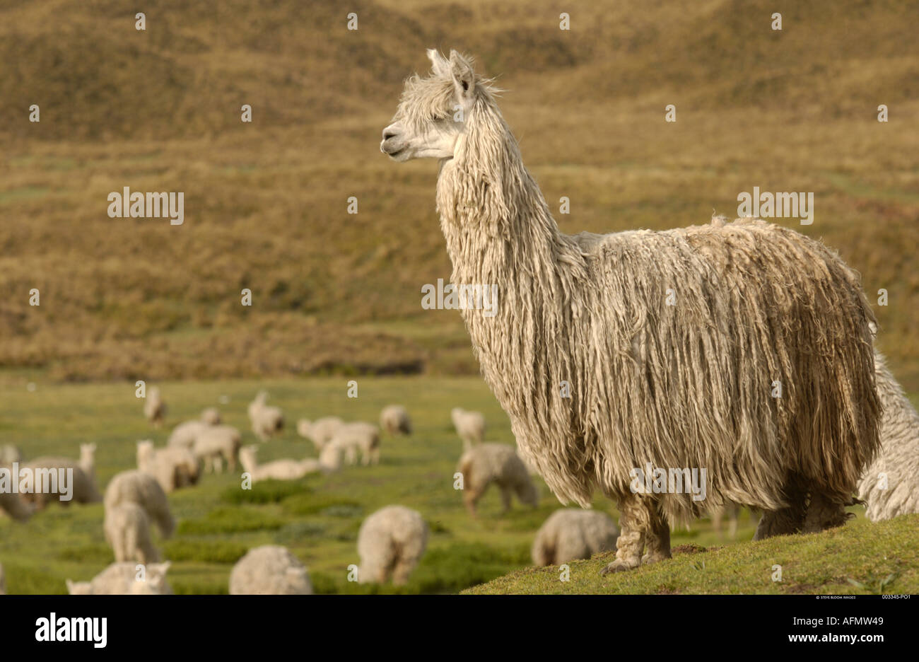 Alpaca Suri a long haired breed of alpaca base of Cotopaxi Volcano Andes Ecuador South America Stock Photo