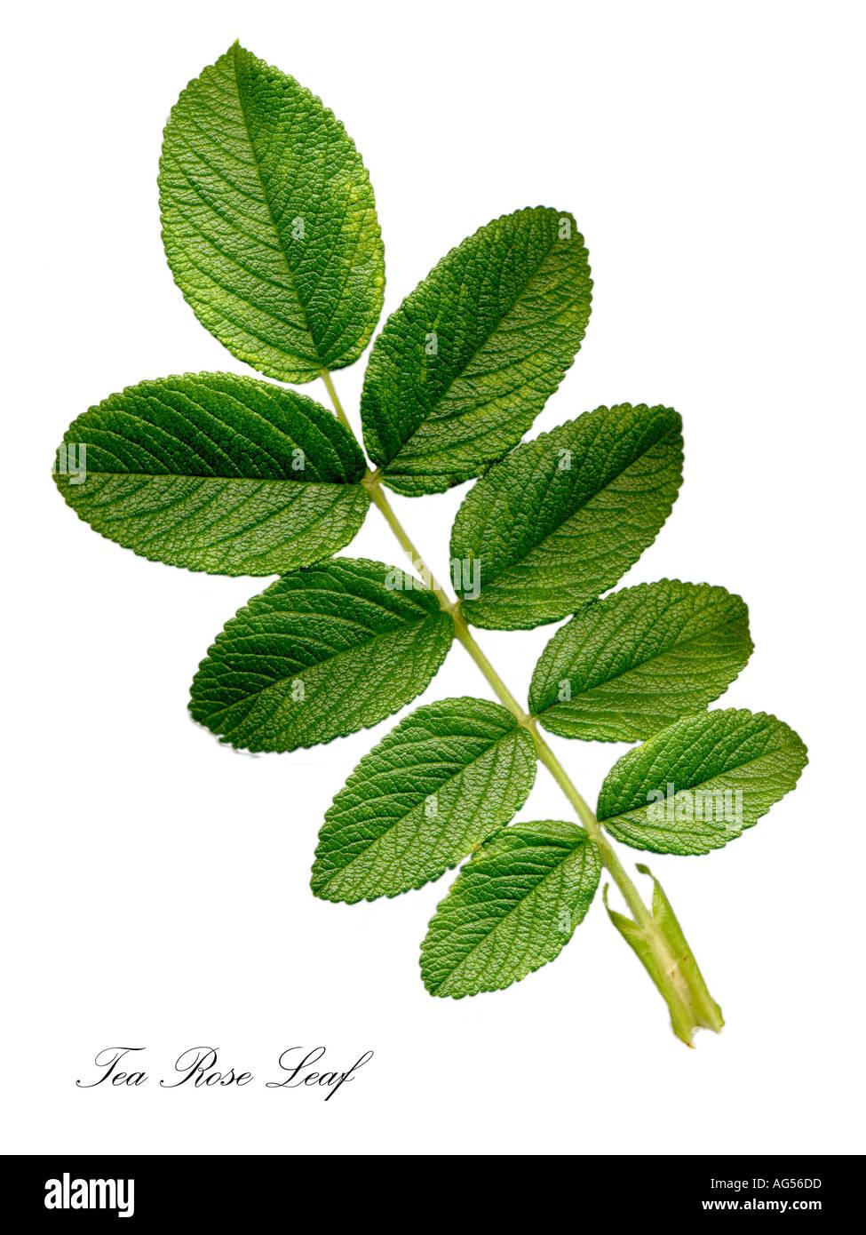 Tea Rose Leaf Stock Photo Royalty Free Image 1070812 Alamy