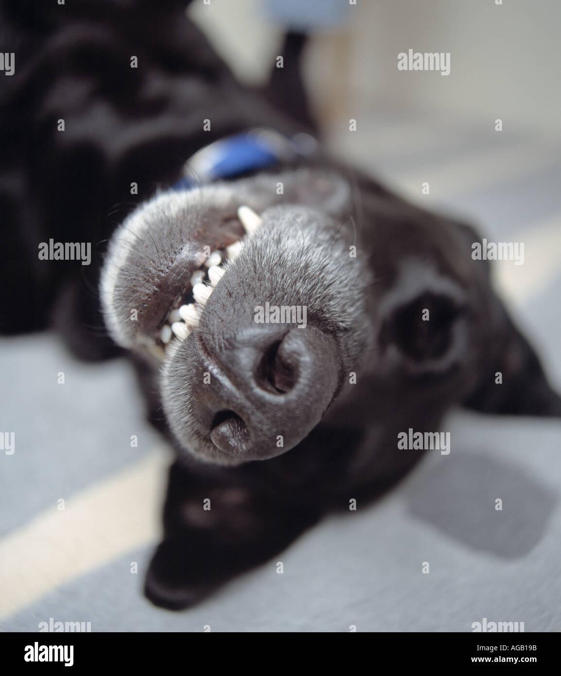 Black dog lying on back - photo#7