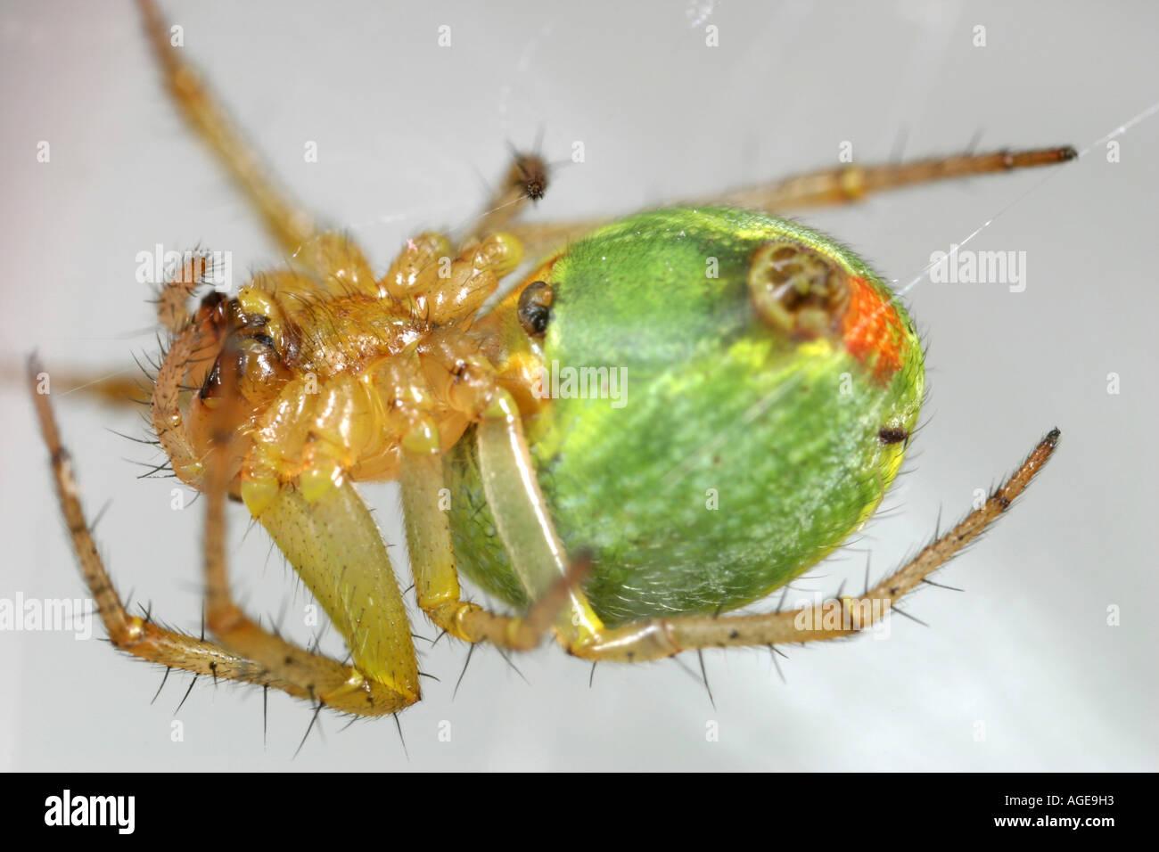 Cucumber Spider, Araniella Cucurbitina, hanging upside down in its web Stock Photo