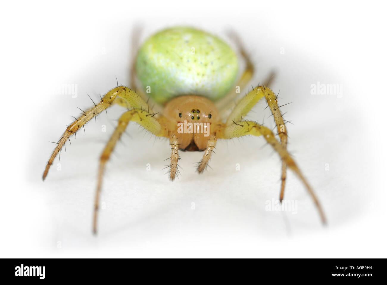 Cucumber Spider, Araniella Cucurbitina ,on white background Stock Photo