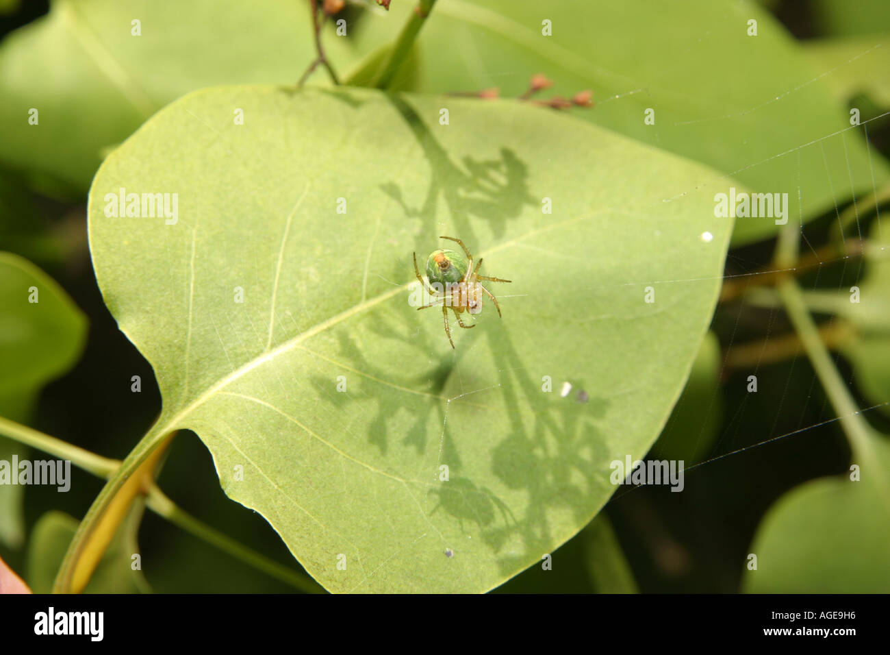 Cucumber Spider, Araniella Cucurbitina, in its web on a leaf Stock Photo