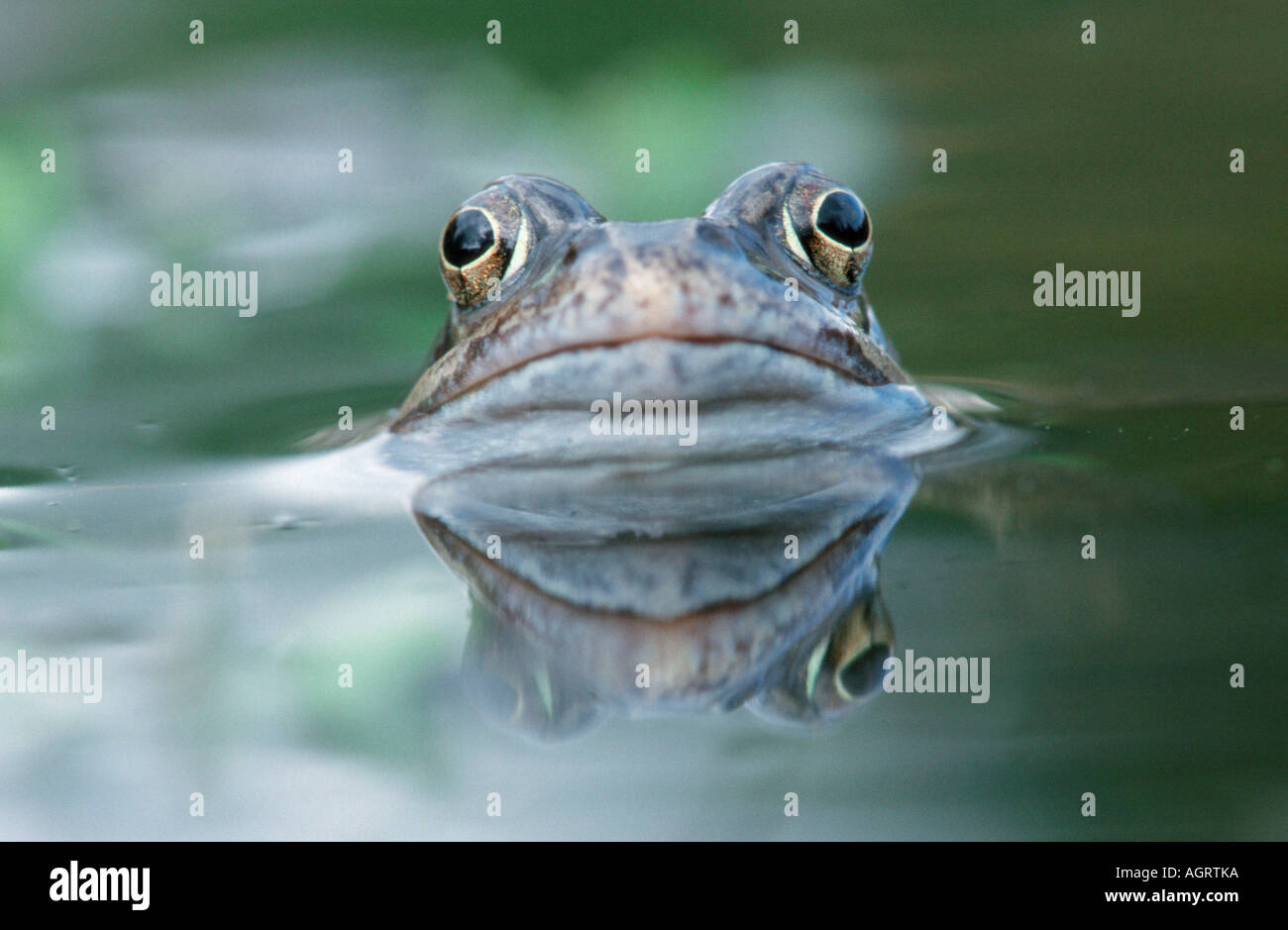 Common European Frog Stock Photo