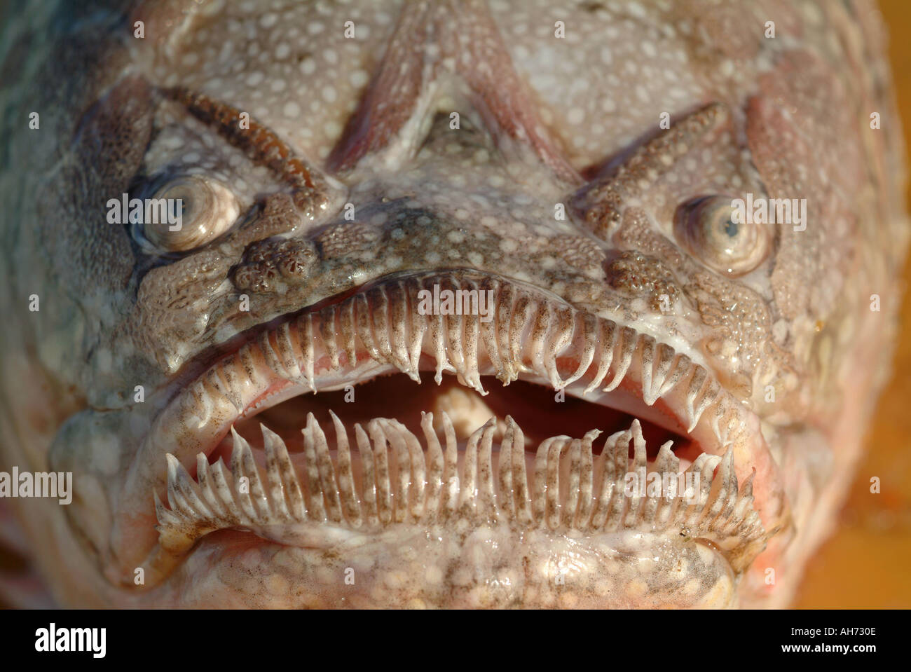 The ugly face of a bottom fish called a stargazer named for Ugly fish pictures