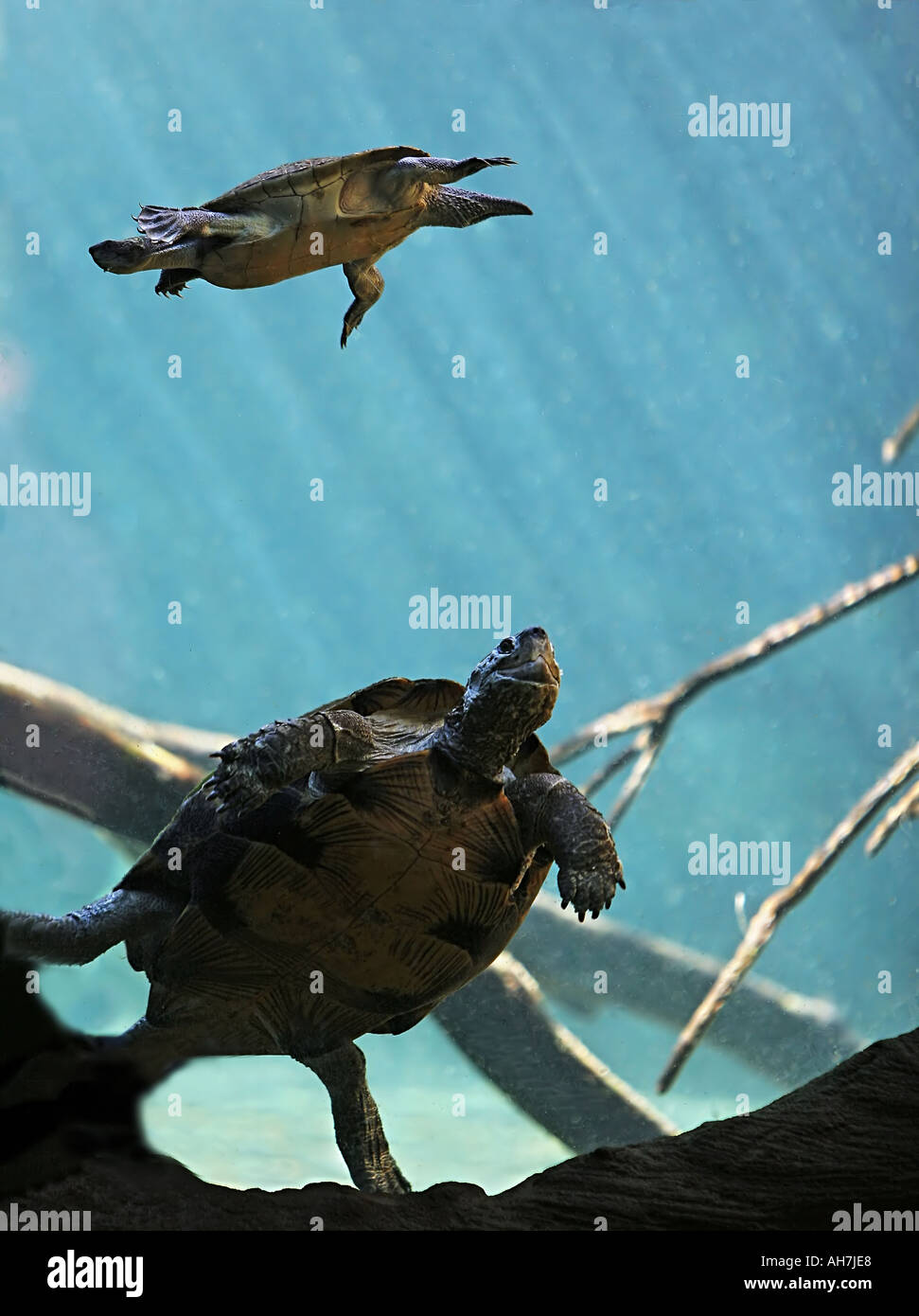 Terrapins Swimming Underwater