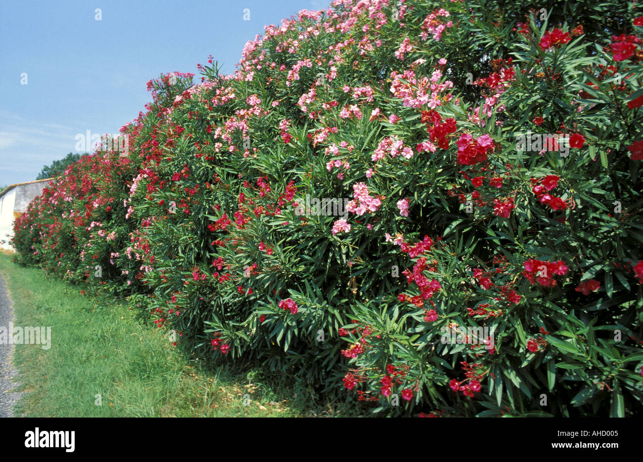 Nerium oleander italy stock photo 1167364 alamy - Nerium oleander ...