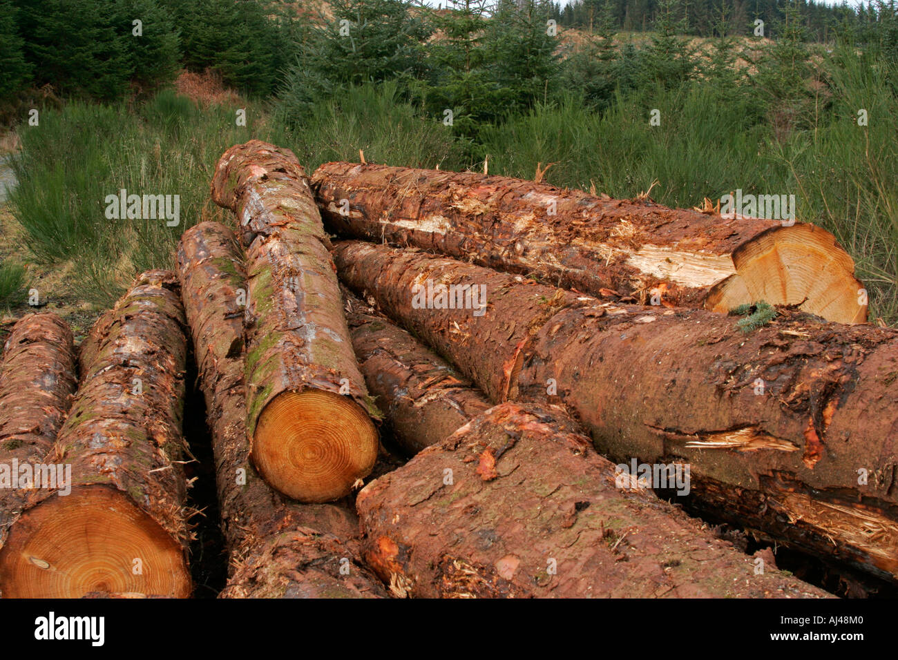 Cut timber logs with conifer trees in forest background