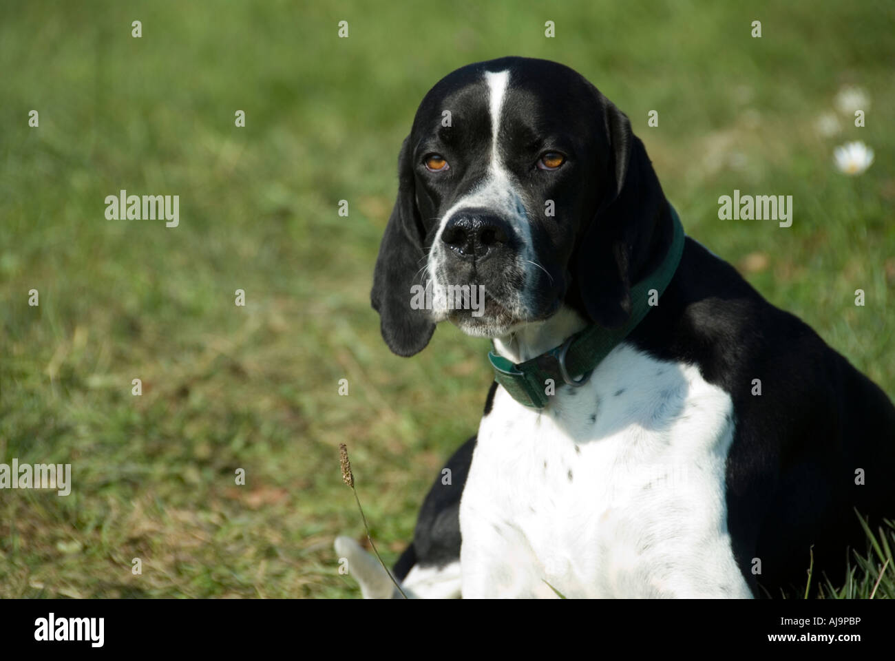 Black English Pointer Puppy Photo of an Eng...