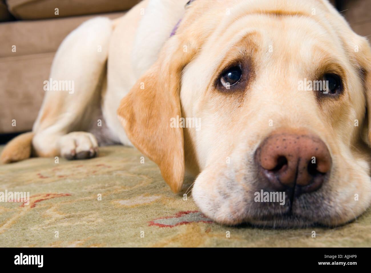 Dogs Sad Eyes