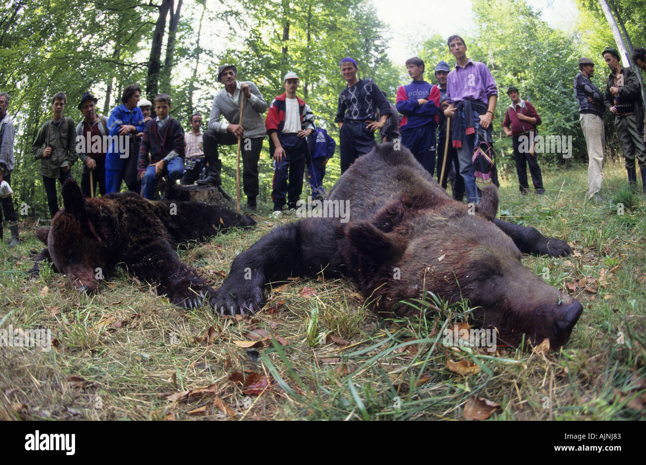 Dead european brown bear with hunters, Domnesti, Carpathian Mountains, Romania Stock Photo