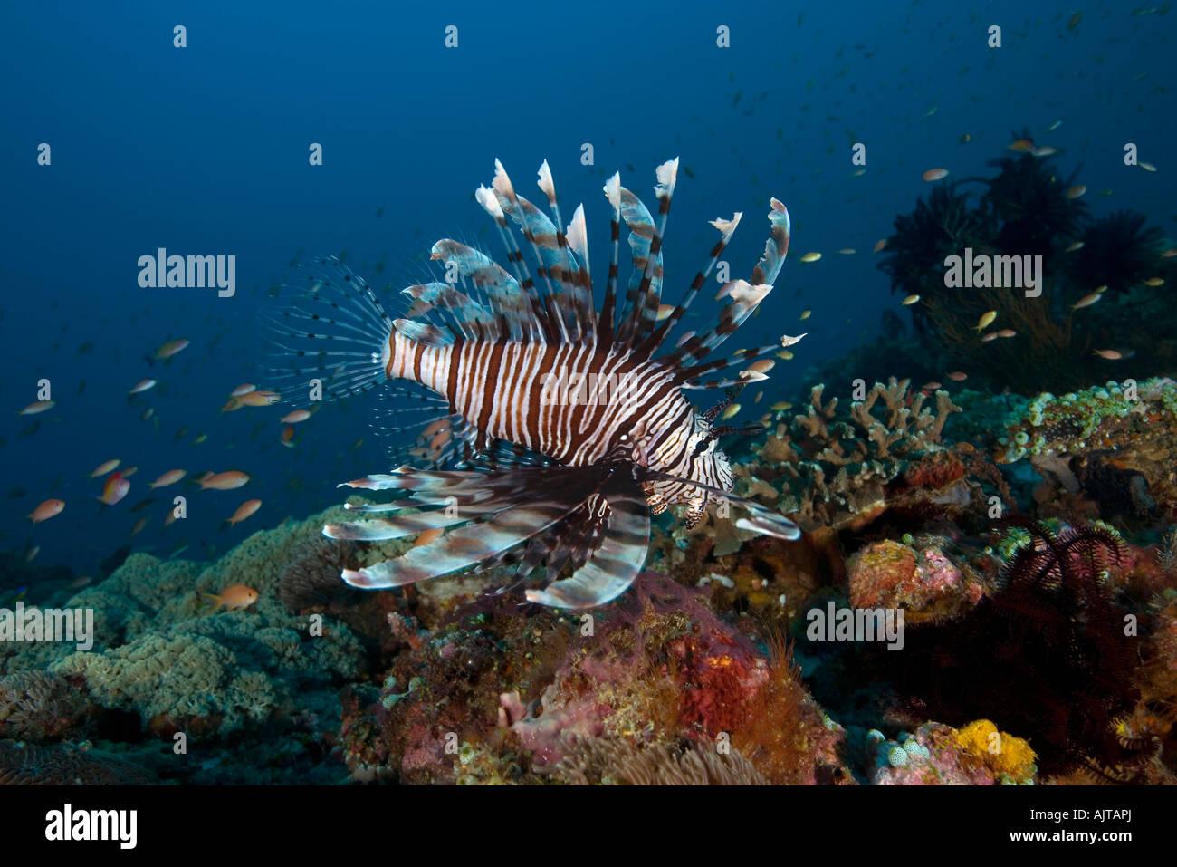 common-lionfish-pterois-volitans-lombok-