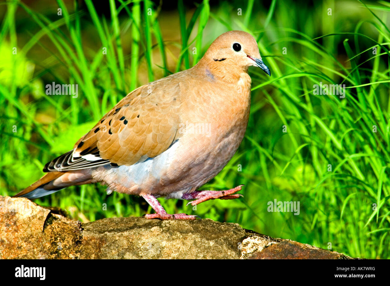 A Zenaida dove walking on a ledge Stock Photo