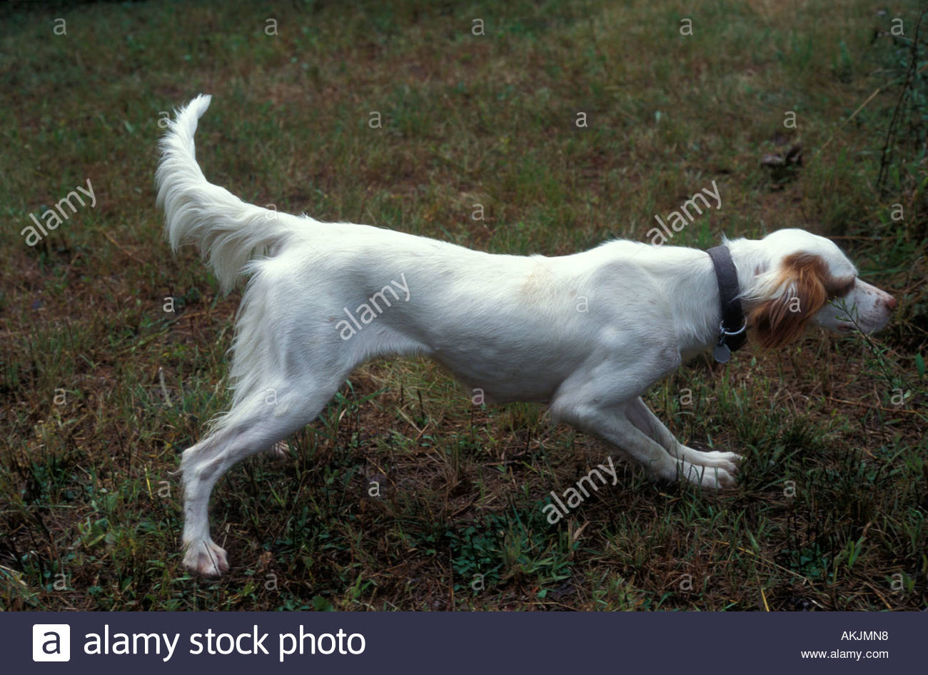 English setter pointing