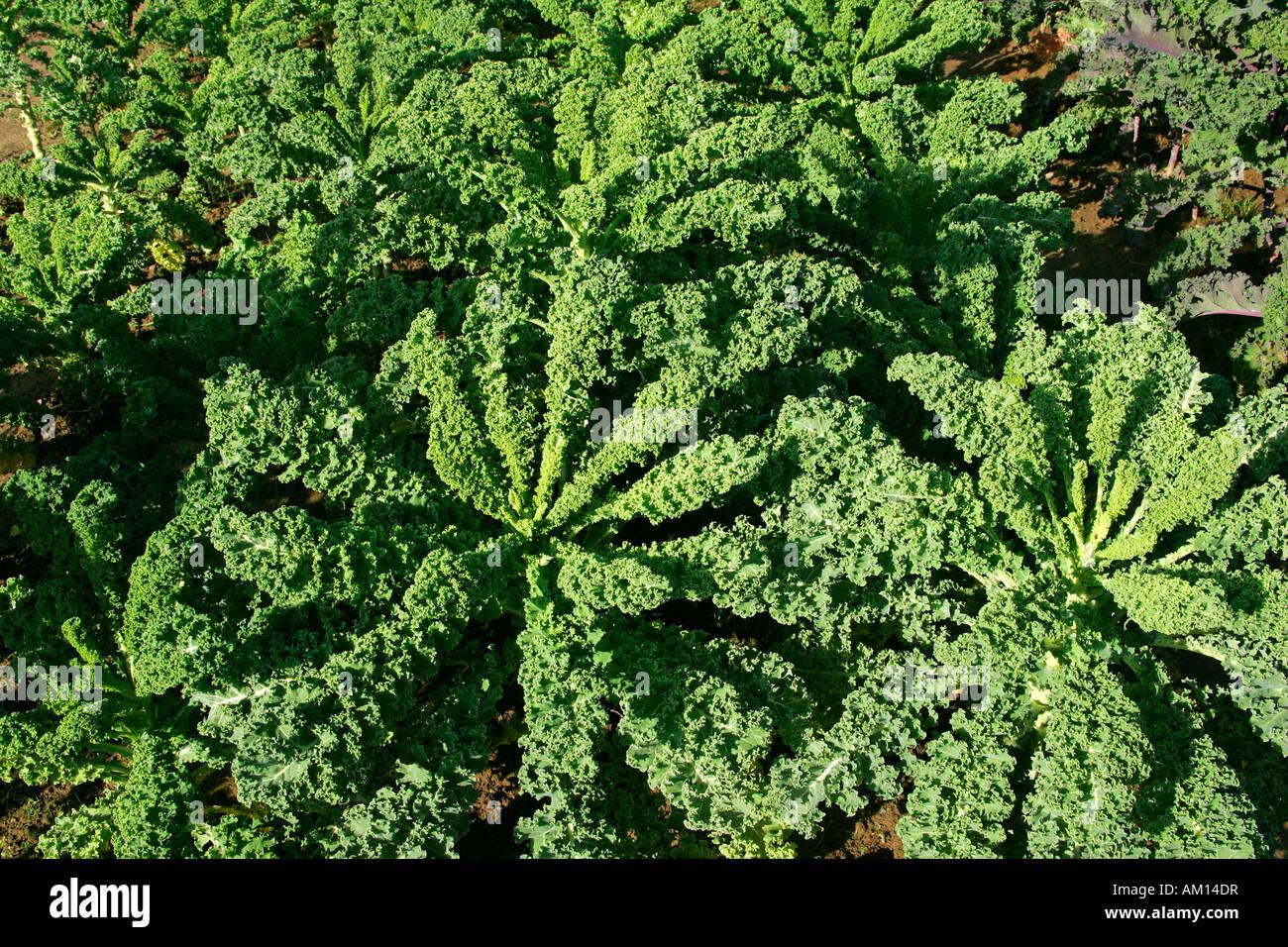 green kale borecole cabbage vegetable brassica. Black Bedroom Furniture Sets. Home Design Ideas
