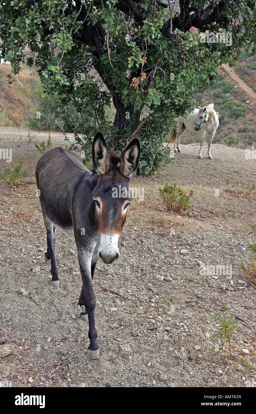 Spanish Donkey Walking Towards Camera