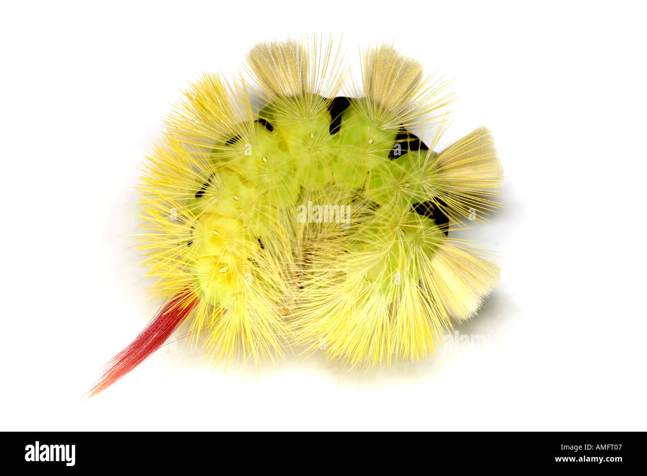 Pale Tussock moth larva Calliteara pudibunda Stock Photo