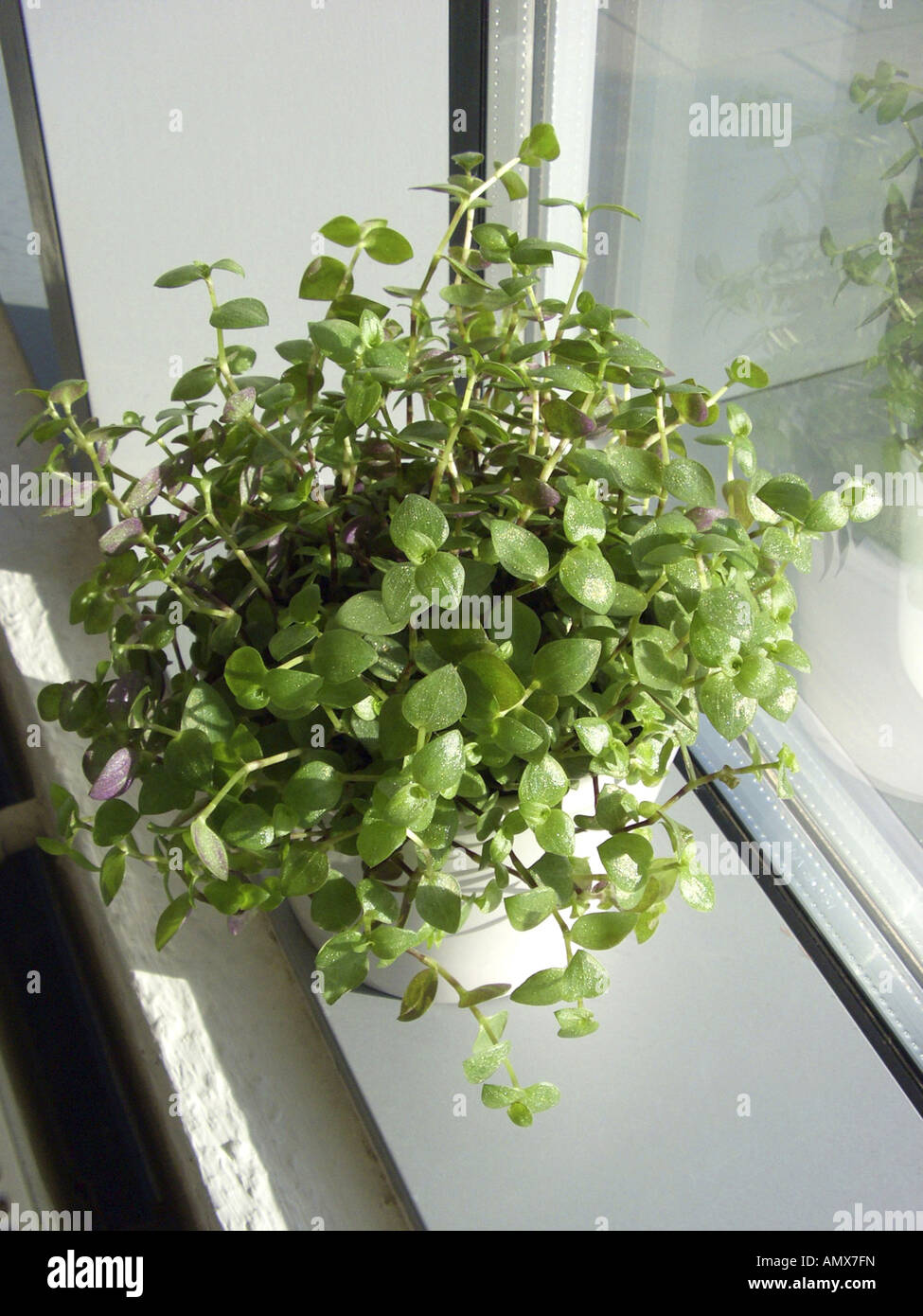 Turtle Vine Callisia Repens Potted Plant On A