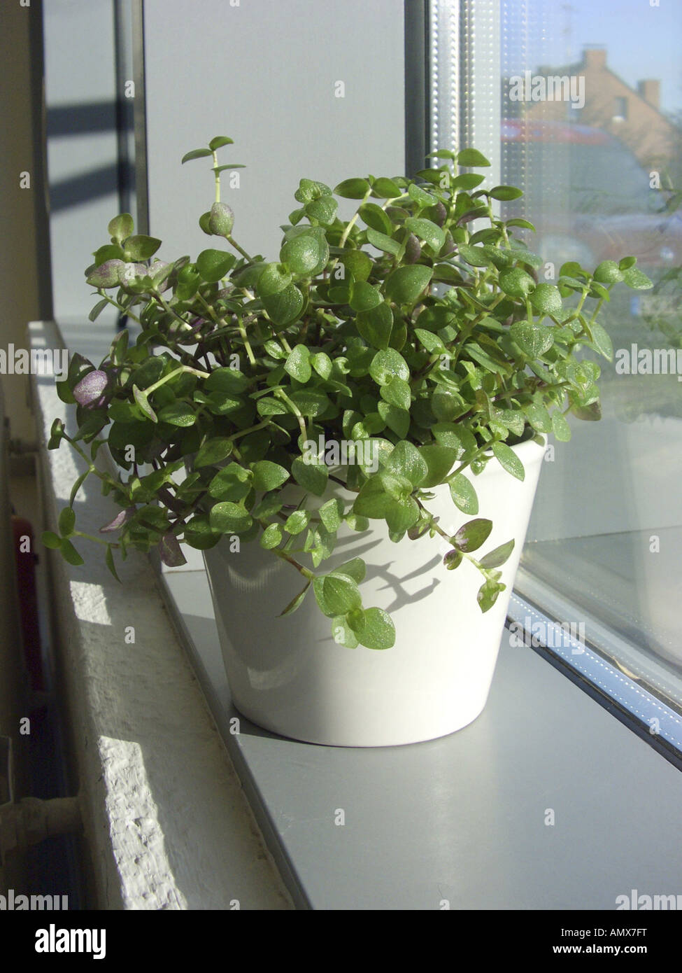 Turtle Vine Callisia Repens Potted Plant On A Windowsill Stock Photo Royalty Free Image
