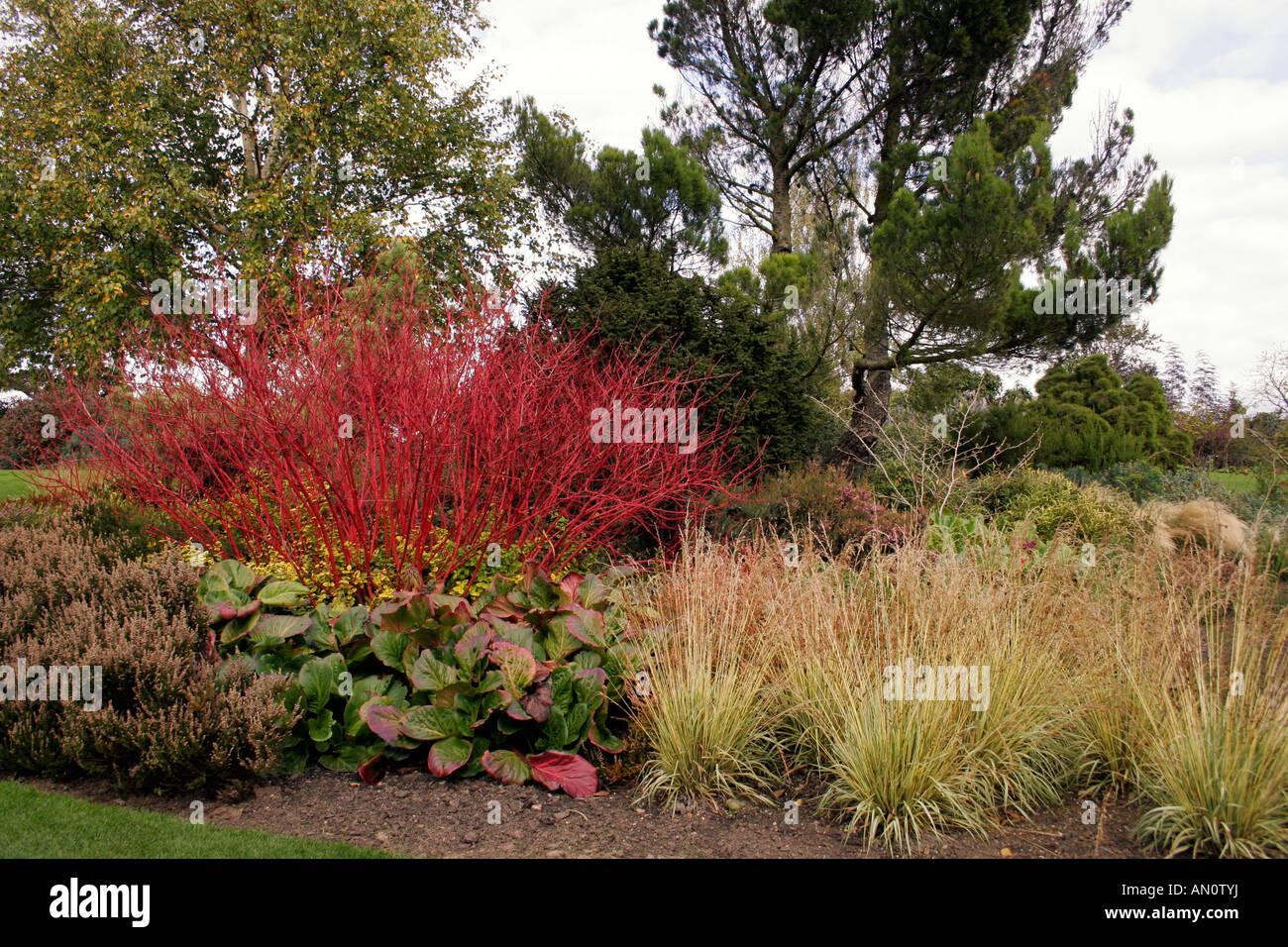 Cornus alba sibirica dogwood in autumn stock photo - Cornus alba sibirica ...