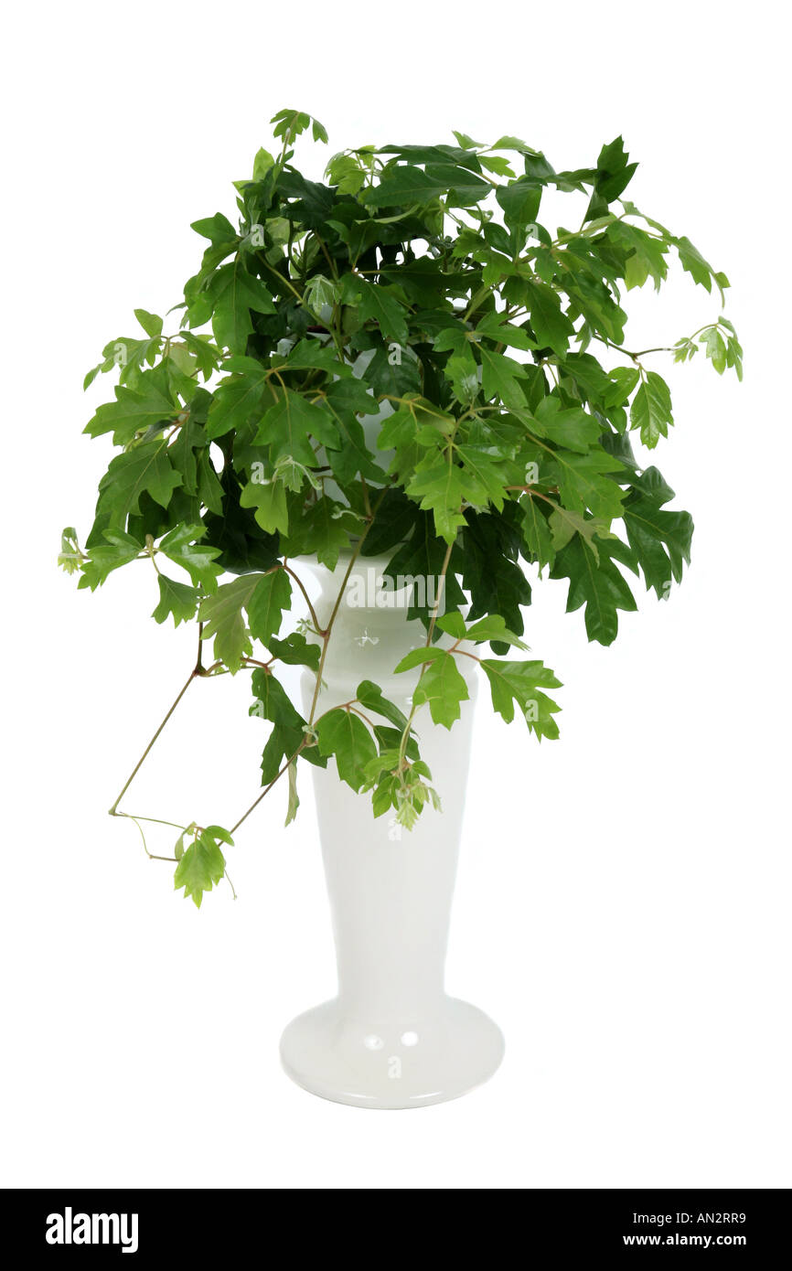 green vine indoor house plant html with Stock Photo Grape Ivy Oak Leaf Ivy Cissus Rhombifolia Rhoicissus Rhomboidea Potted 8796088 on Stock Photo Creeping Fig Fig Vine Ficus Pumila Cv Sonny Potted Plant 9166231 further 1490917 32583144707 moreover Wandering Jew Plant additionally Feng Shui Plant For Harmony And Positive Energy In The Living Room in addition Artificial Ivy.