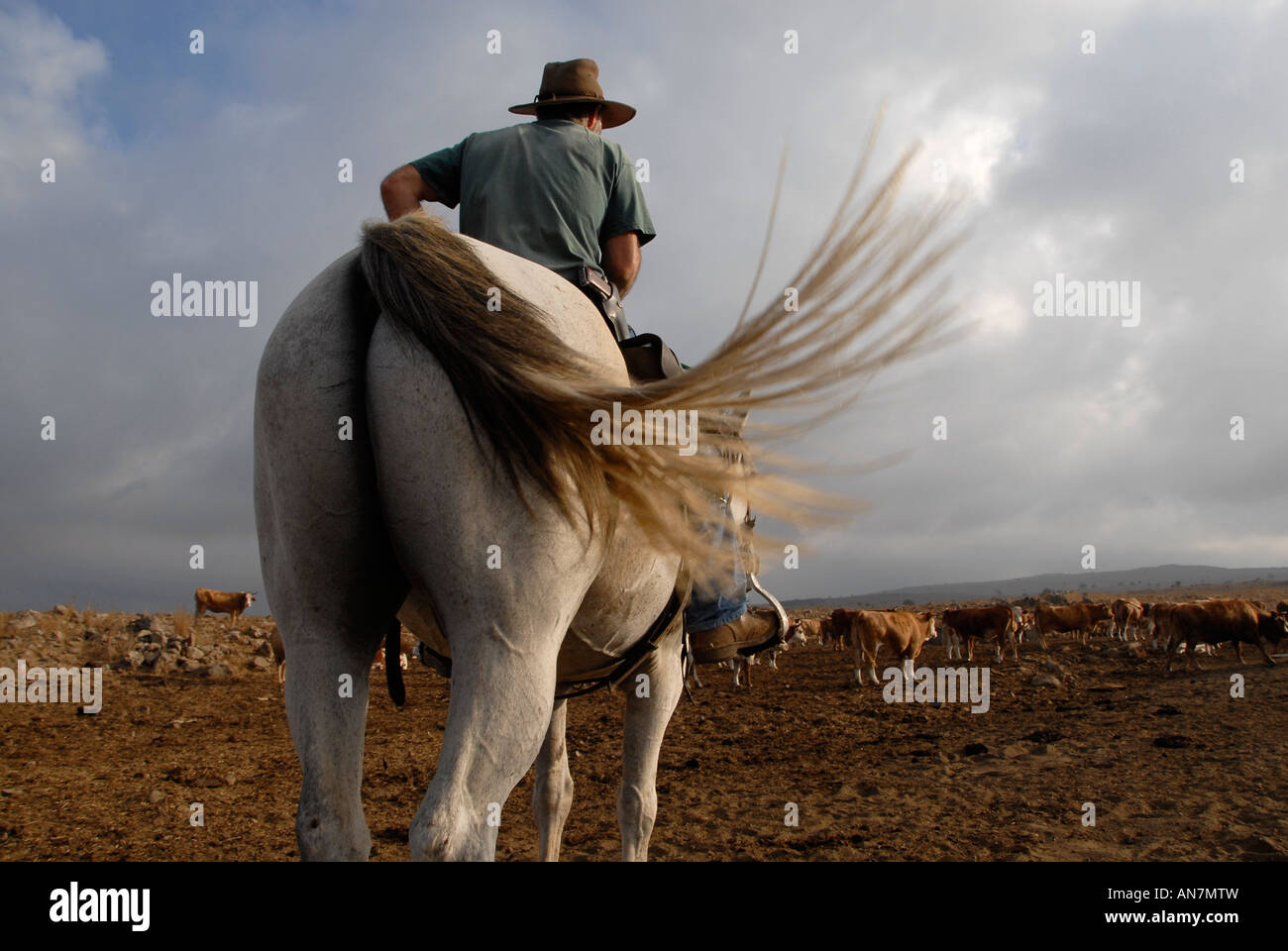 An Israeli cattle herder wearing a pistol mounted on a horse in the Golan heights northern Israel Stock Foto