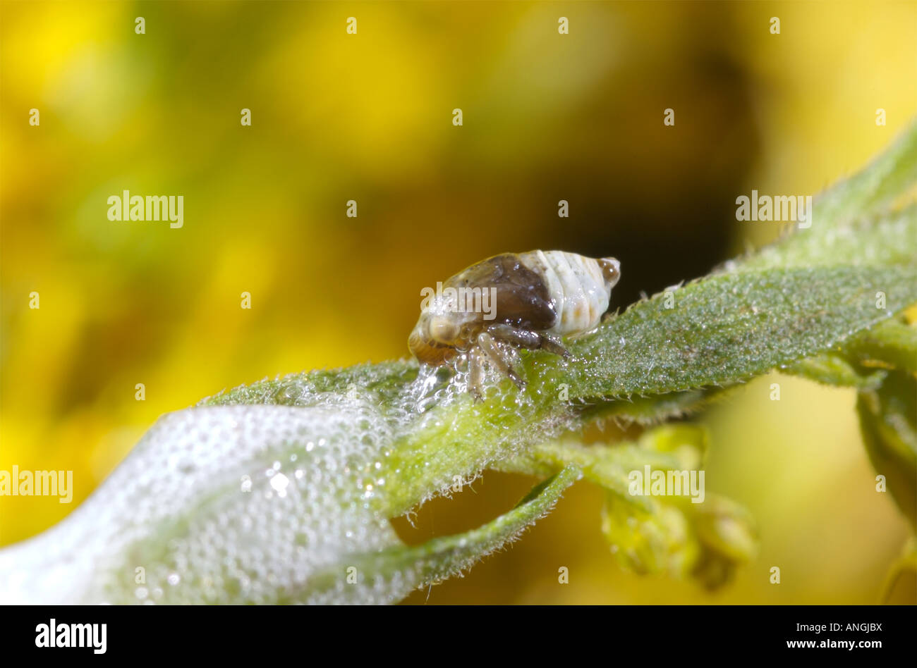 spittle-bug-nymph-cercopidae-on-a-golden