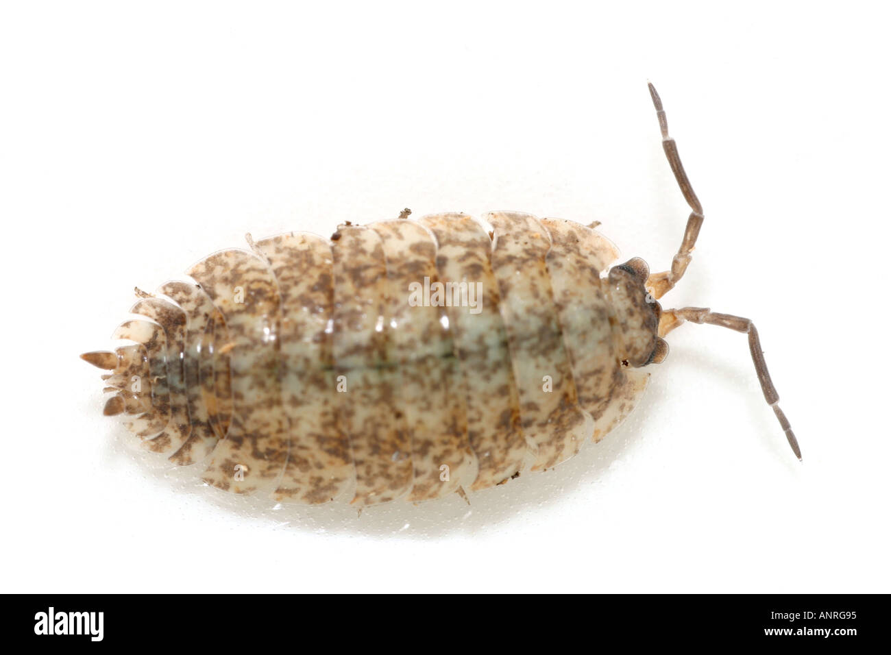 Light brown Woodlouse on white background Stock Photo