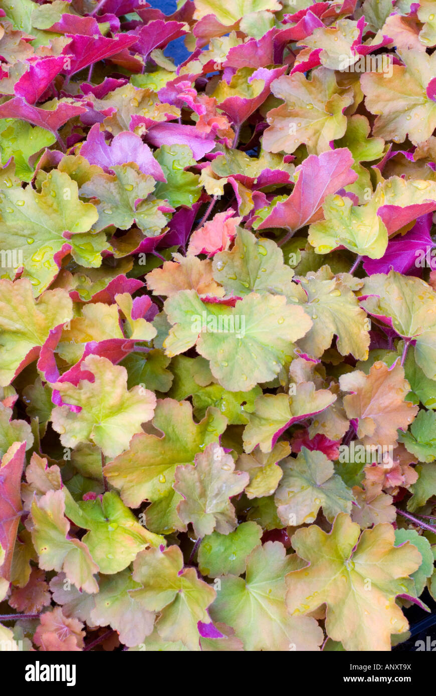 Heuchera 'Caramel' foliage leaves in many colors colours ...
