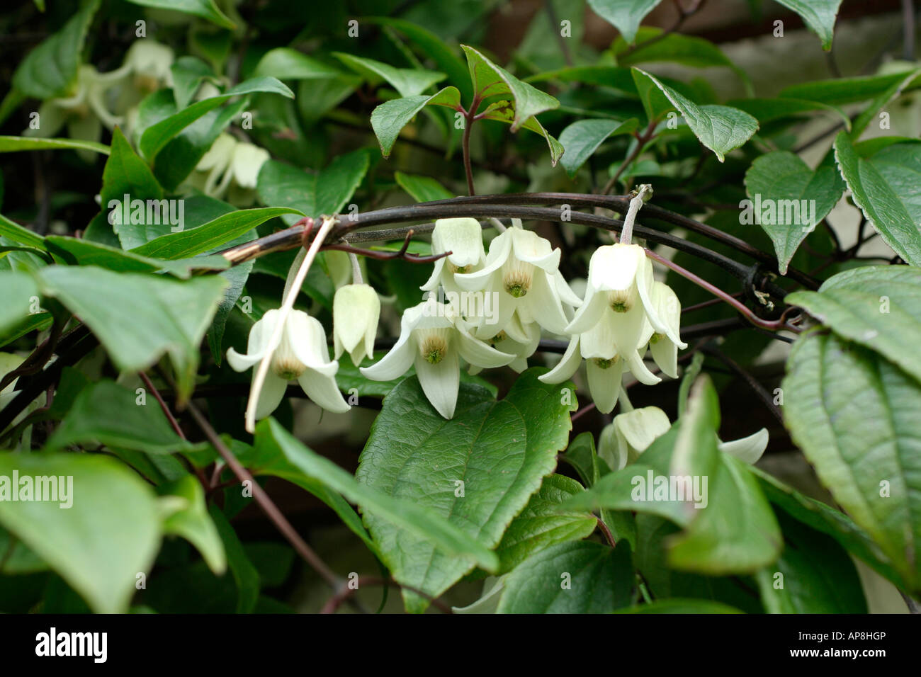 clematis urophylla winter beauty in late january stock photo royalty free image 15710997 alamy. Black Bedroom Furniture Sets. Home Design Ideas