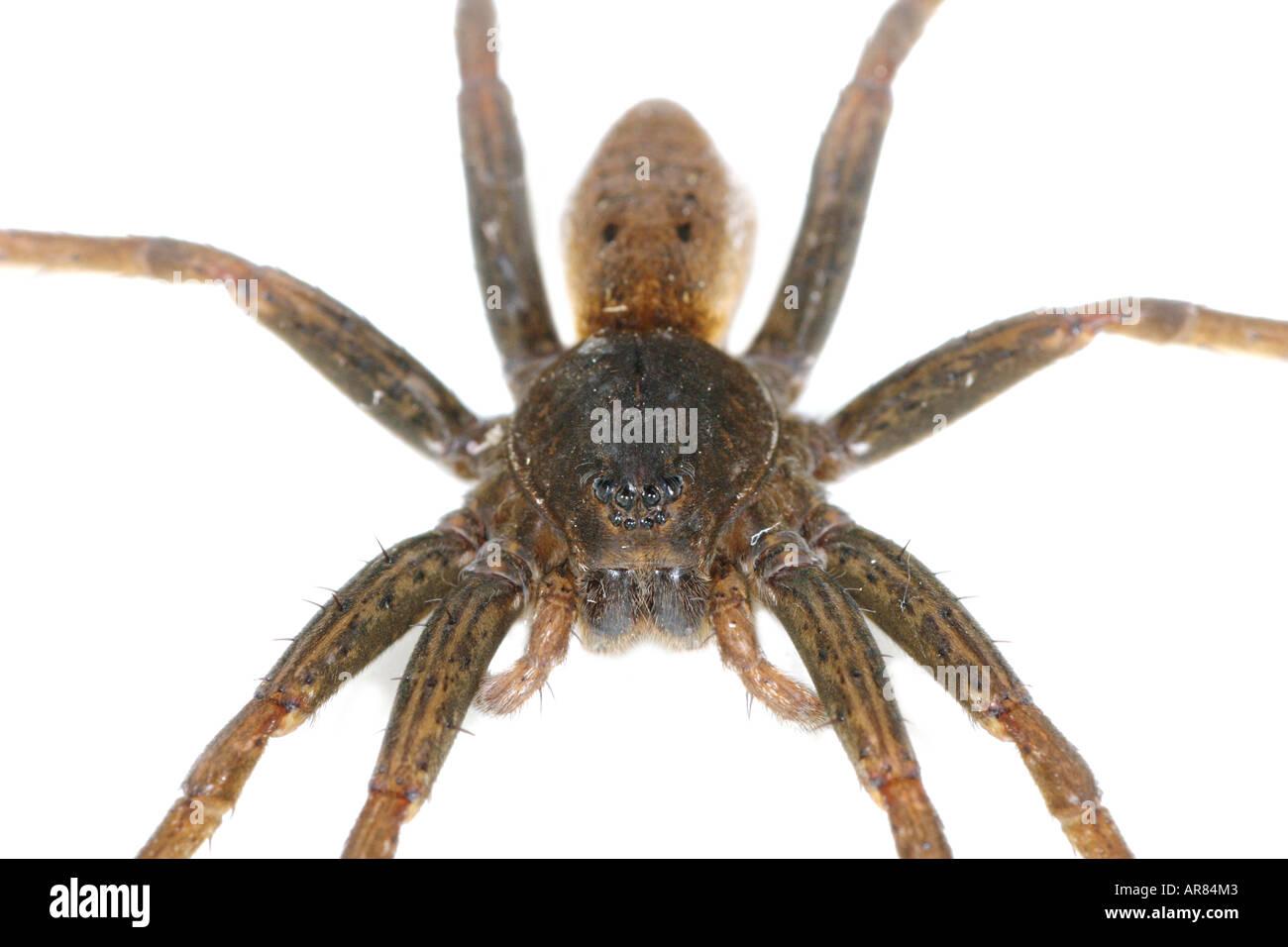 Fen Raft Spider Dolomedes plantarius, a fishing spider, on white background Stock Photo