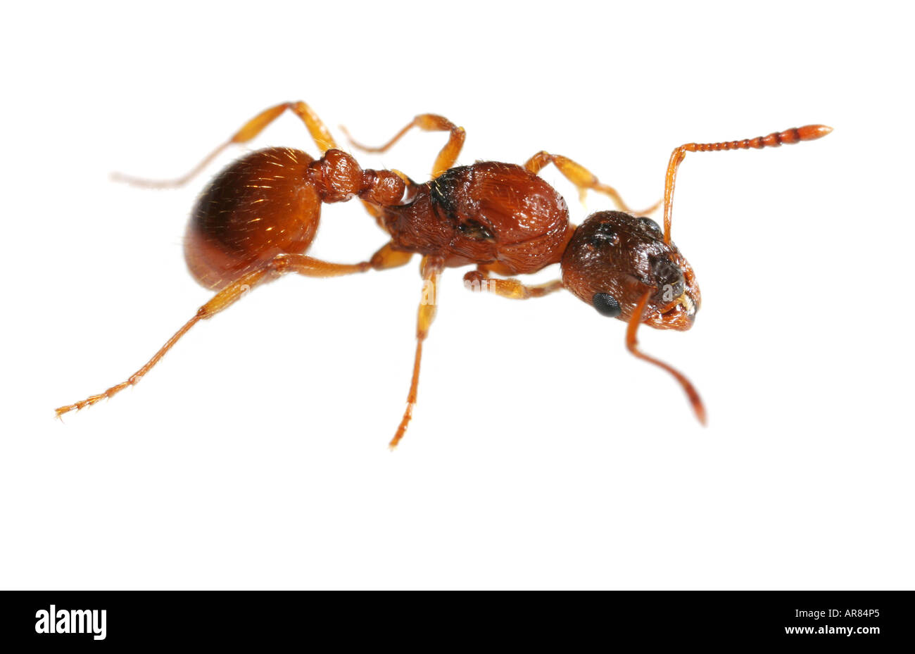 Close-up of a small red ant on white background Stock Photo