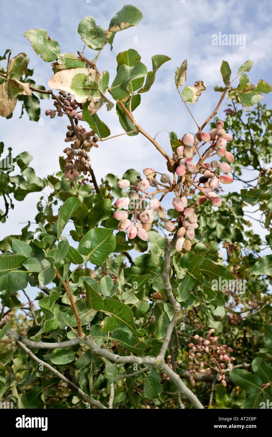 Growing Pistachios: Pistachio Tree Stock Photo, Royalty Free Image: 16180329
