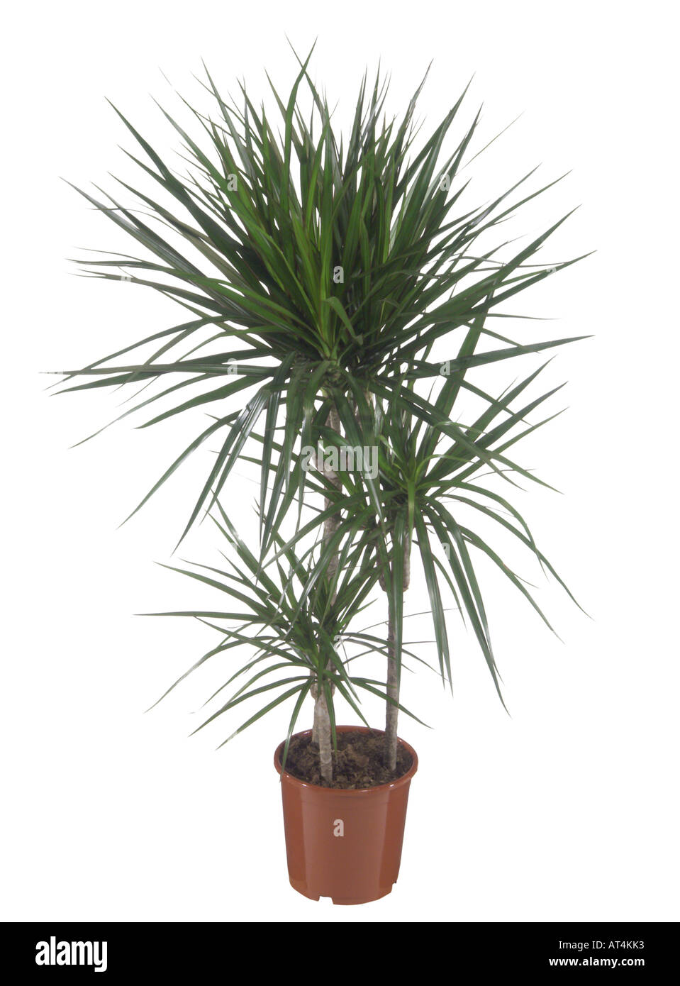 Dragon tree dracaena marginata potted plant stock photo for Dracaena marginata