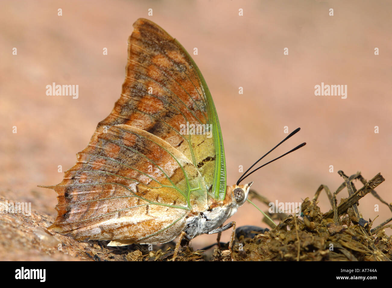 Green veined Charaxes butterfly feeding Stock Photo
