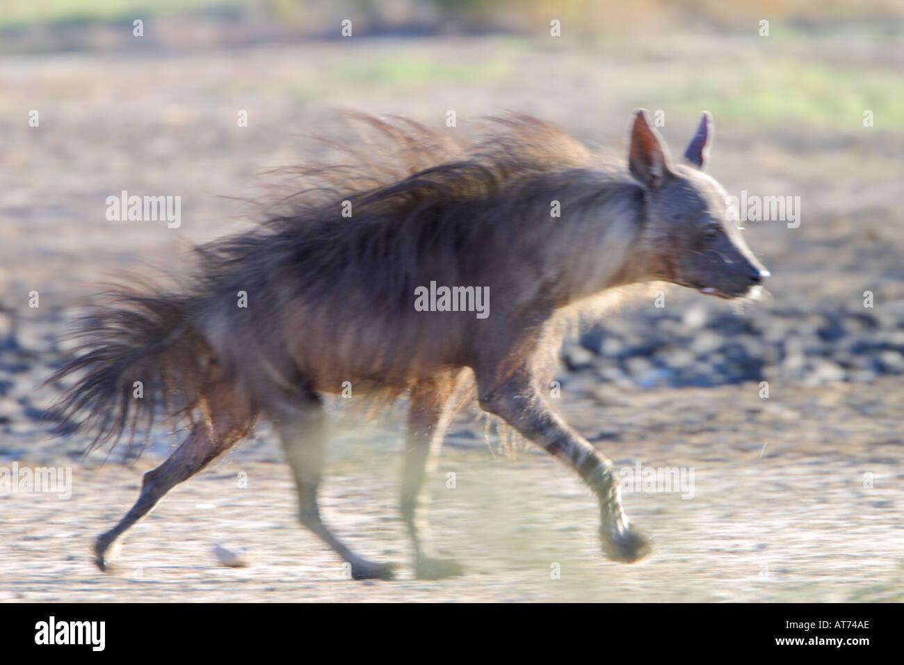 Brown Hyaena Stock Photo