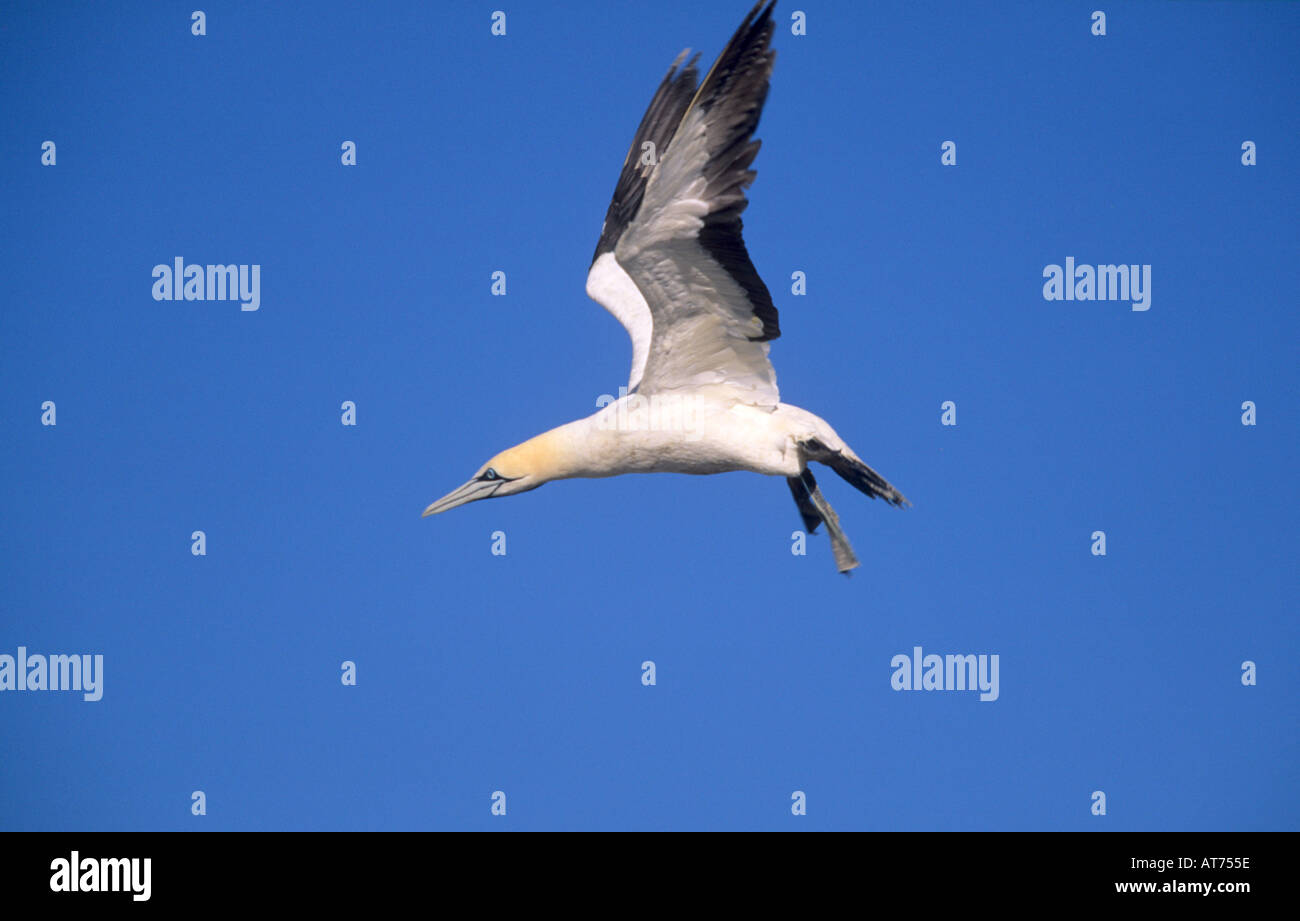 Cape Gannet flying Stock Photo