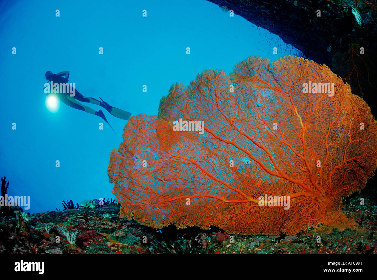 Diver and Red Sea Fan Similan Islands Thailand Stock Foto