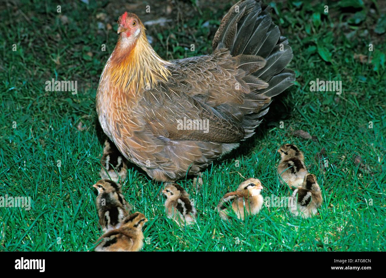 Poule et ses poussins dans l herbe france agriculture - Poule et ses poussins ...