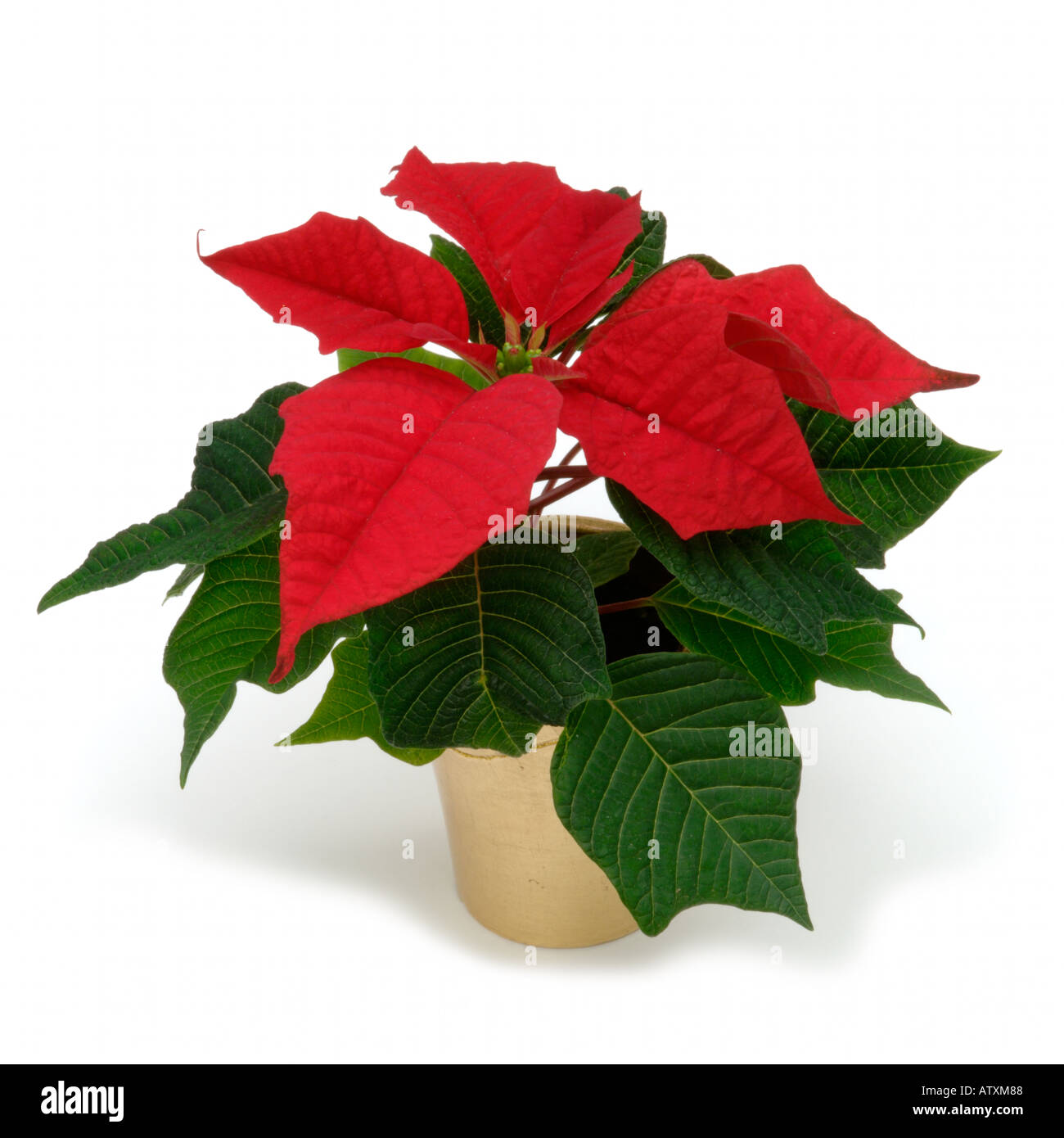 Poinsettia House Plant: Red Leaves Of Poinsettia In Gold Potted House Plant On