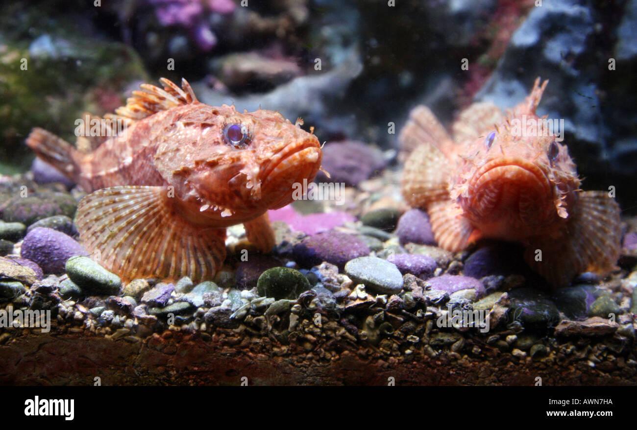 pair-of-scorpion-fish-AWN7HA.jpg