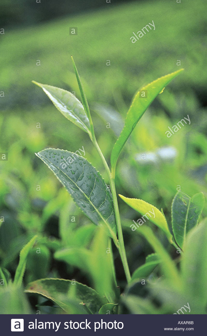 fresh green pure tealeaves agricultural cash crop growing in tea stock
