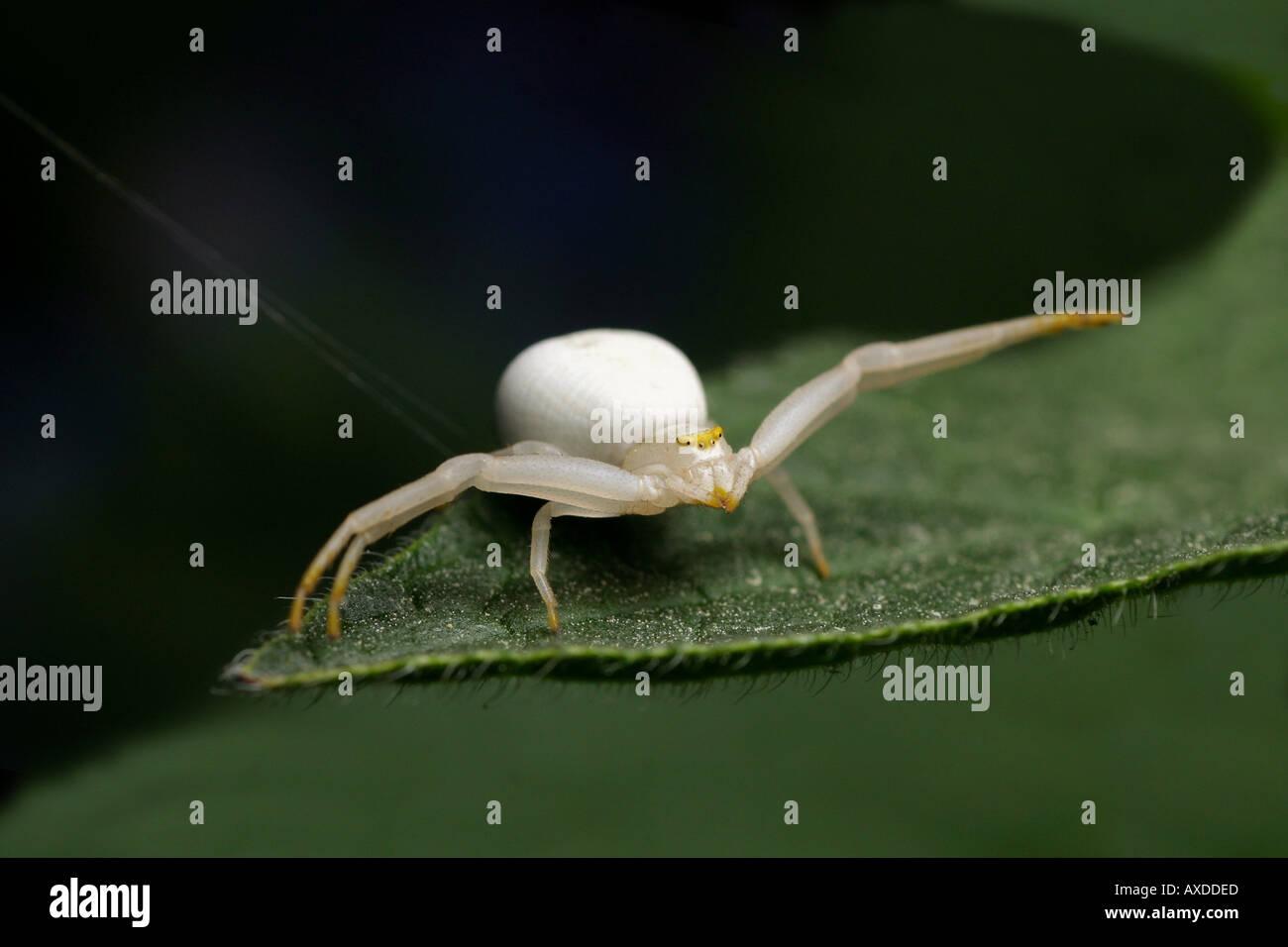 White Goldenrod Crab spider - Misumena vatia Stock Photo