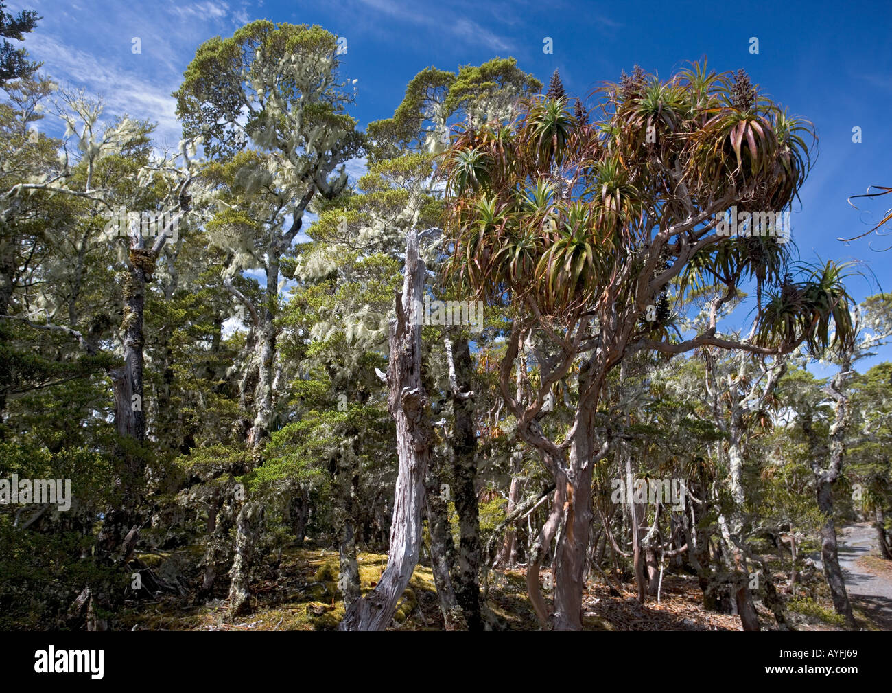 High altitude elfin forest, mainly mountain beech and ...