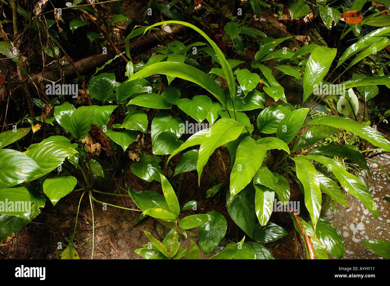 gruen blattpflanzen im urwald am rio negro region cueiras brasilien stockfoto lizenzfreies bild. Black Bedroom Furniture Sets. Home Design Ideas